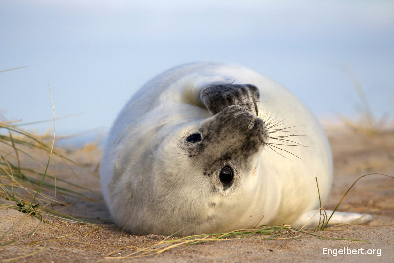 Portrait of a baby seal. Around December on one of the beaches of Vlieland (an island at the north of The Netherlands) grey seals bring up their offspring. The newborn pups are white. After about five weeks they start to get their adult colours and from that moment on, they are able to swim.