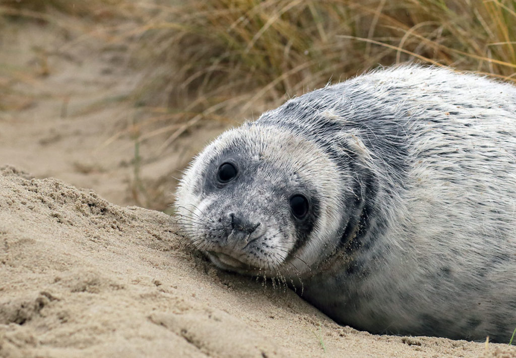 Young gray seal